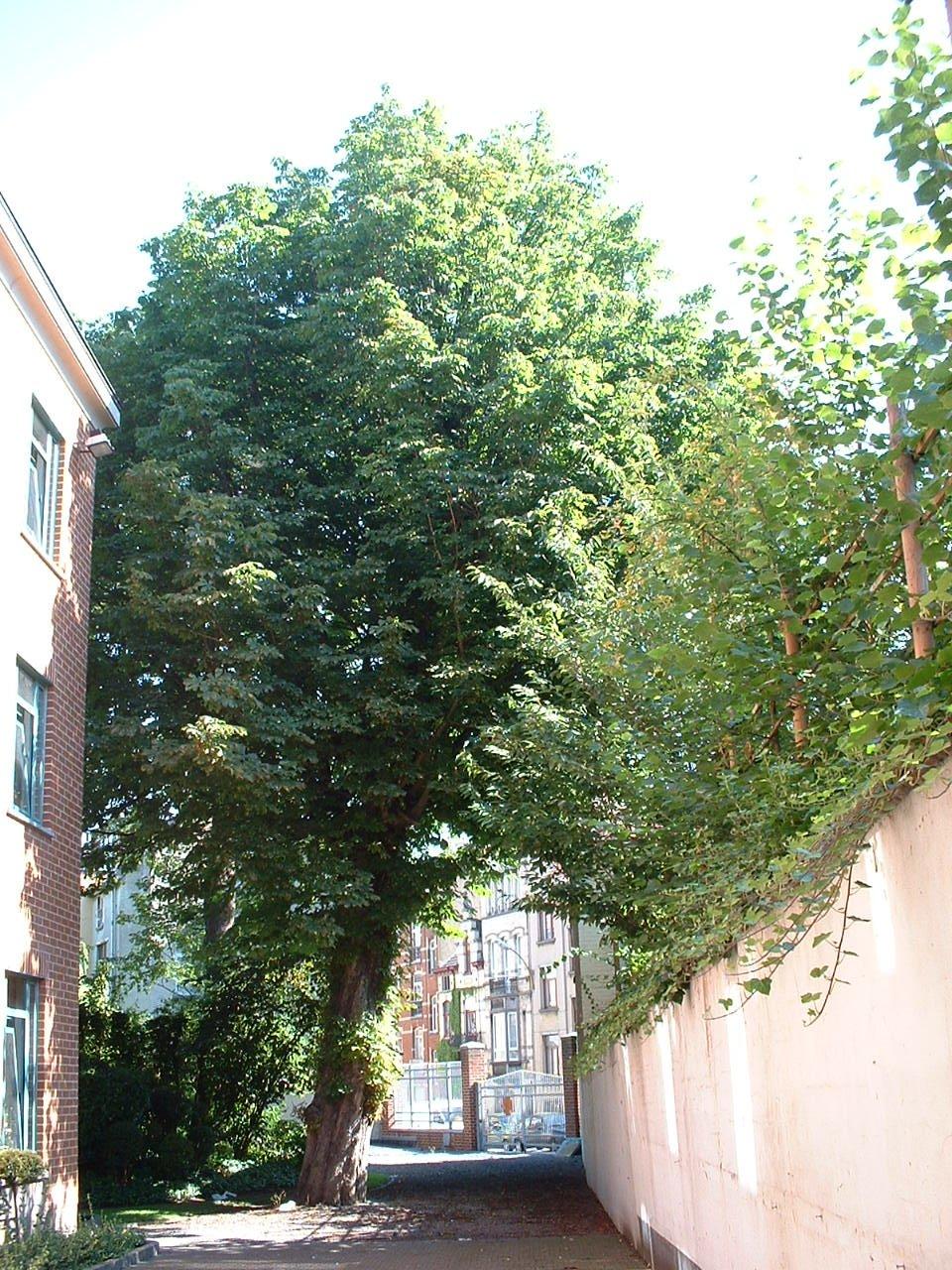 Marronnier commun – Schaerbeek, Rue Thomas Vinçotte, 36 –  16 Juillet 2002