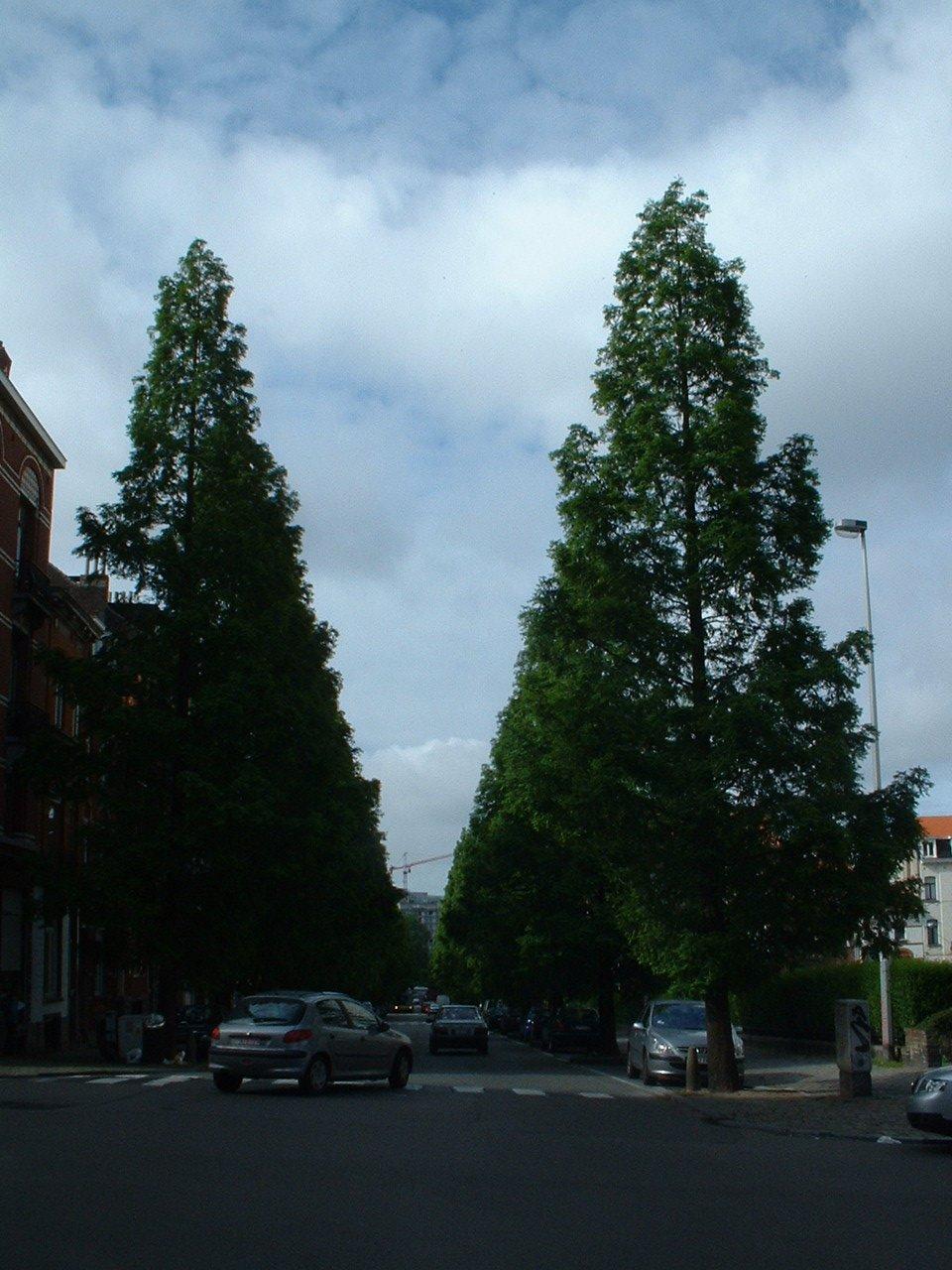 Métaséquoia – Bruxelles, Avenue de la Brabançonne, 103 –  27 Mai 2002