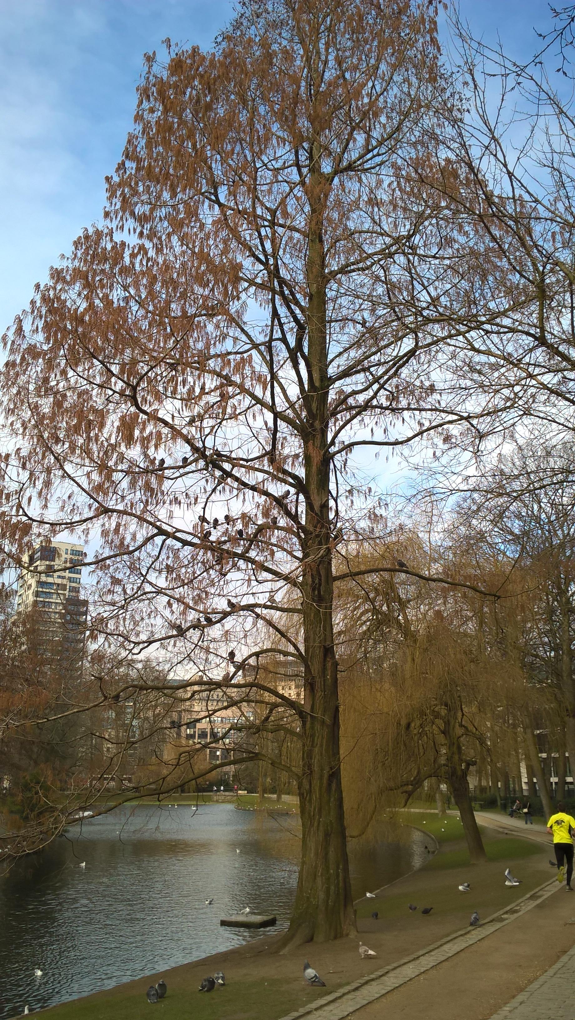 Métaséquoia – Bruxelles, Parc Léopold –  09 Mars 2016