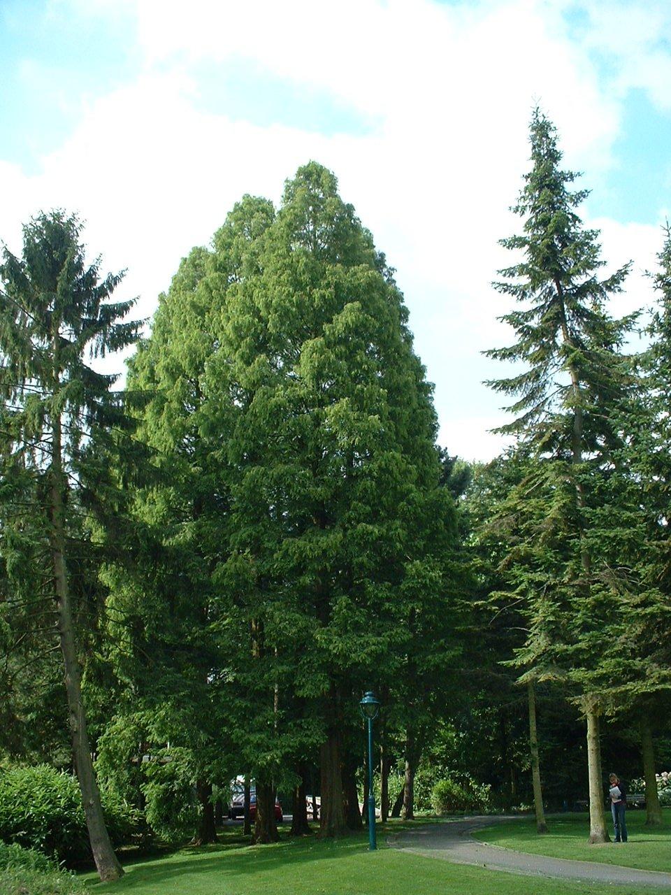 Métaséquoia – Watermael-Boitsfort, Parc Seny, Boulevard du Souverain –  19 Juillet 2002