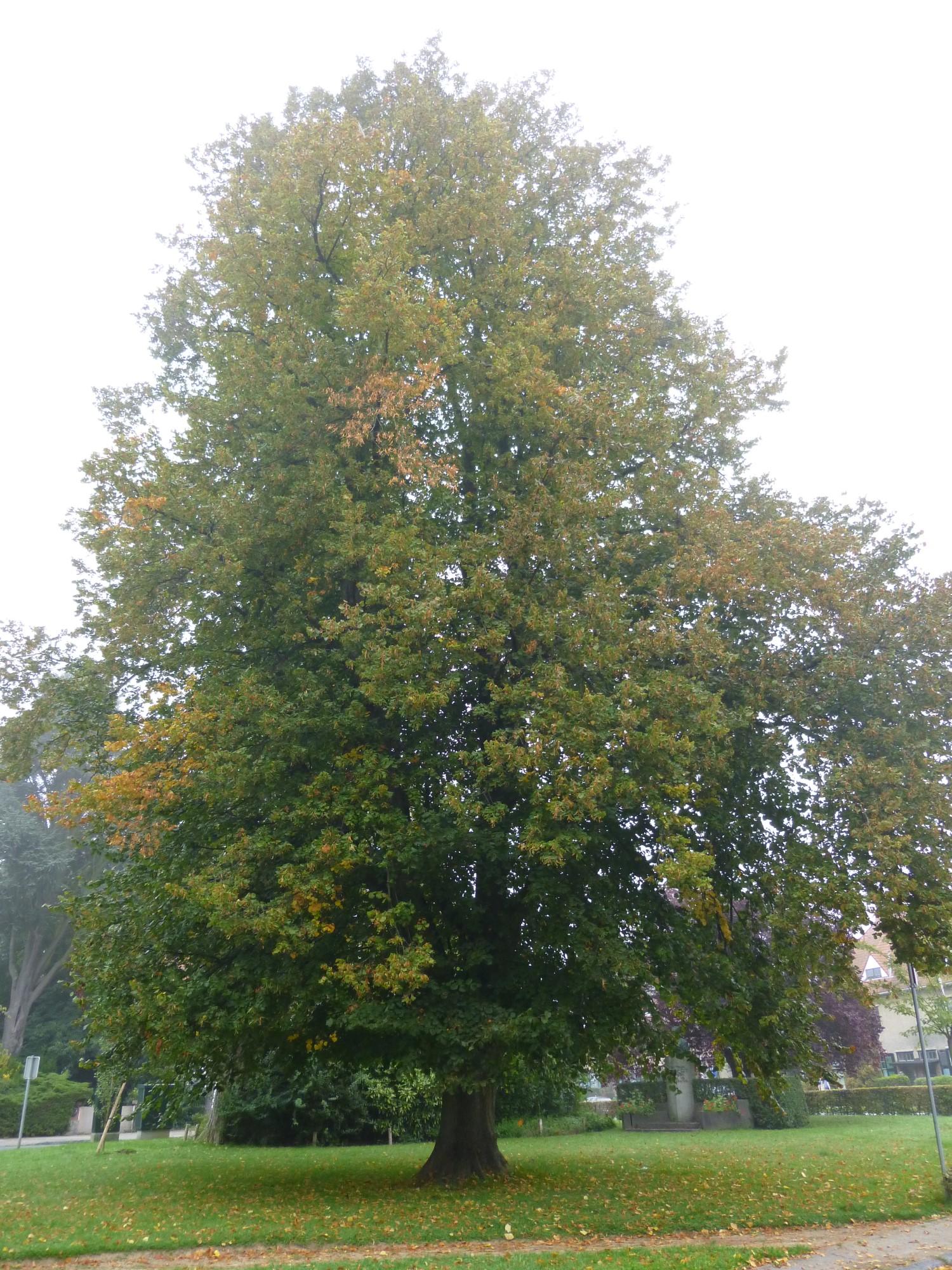 Zomerlinde – Watermaal-Bosvoorde, Kruisboogsquare –  08 September 2014