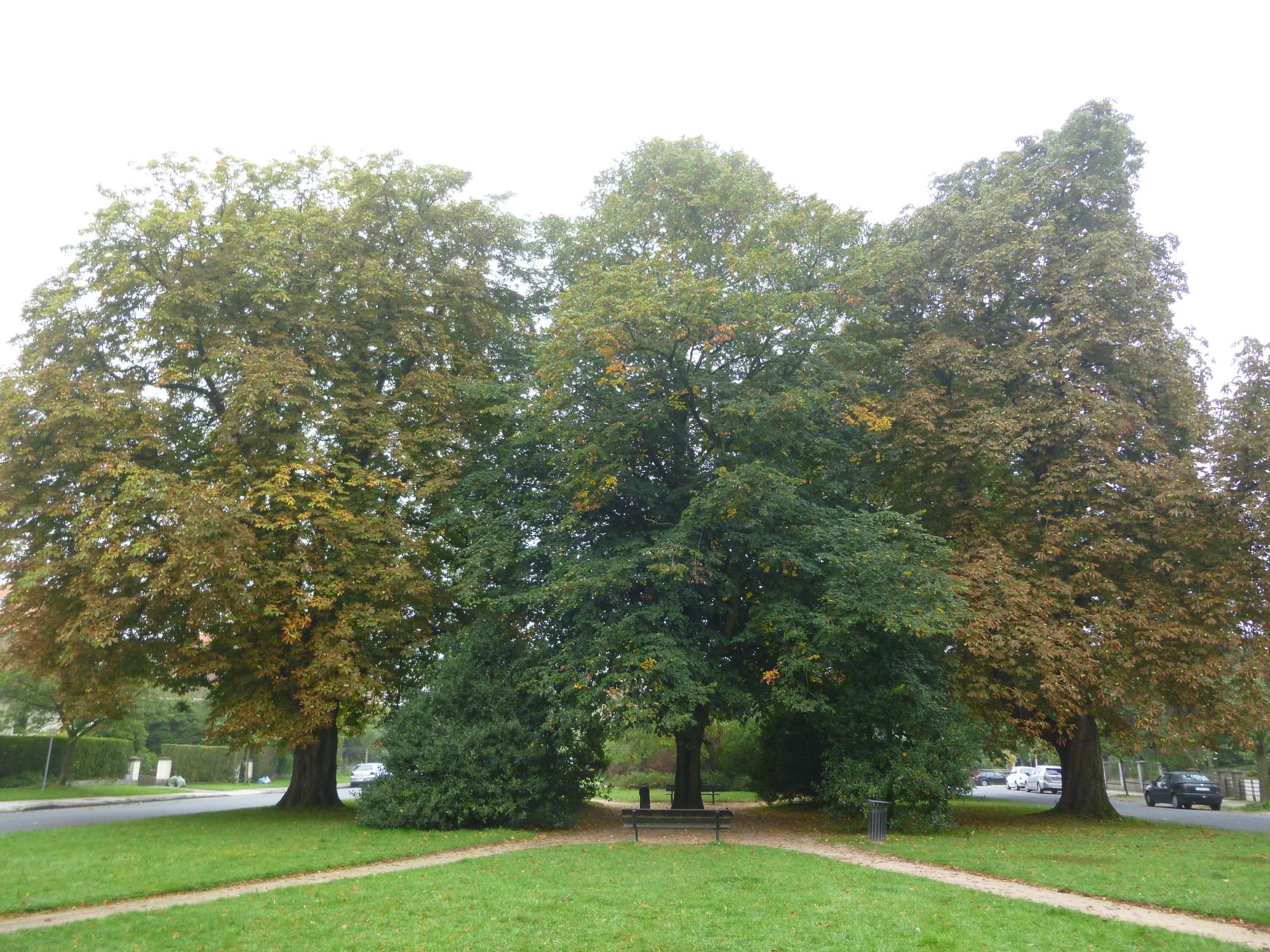 houx – Watermael-Boitsfort, Square de l'Arbalète –  08 Septembre 2014