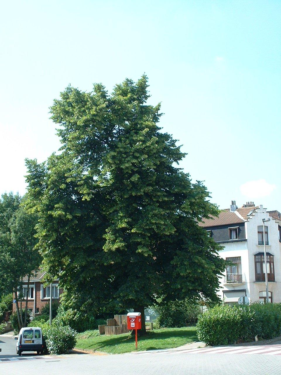 Tilleul à petites feuilles – Watermael-Boitsfort, Rue Gratès –  17 Juillet 2002