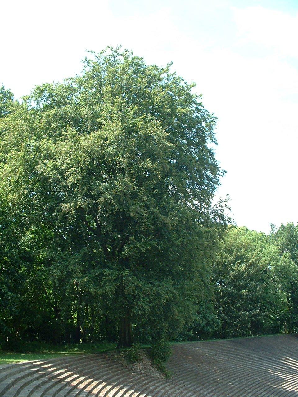 Hêtre d'Europe – Watermael-Boitsfort, Avenue des Naïades –  18 Juillet 2002