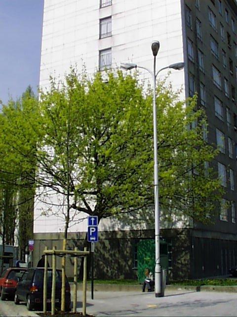 Erable plane – Bruxelles, Rue du Rempart des Moines, 135 –  04 Avril 2002