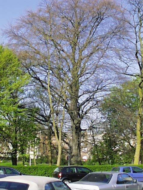 Hêtre pourpre – Schaerbeek, Square Vergote, Square Vergote, face 20 –  05 Avril 2002