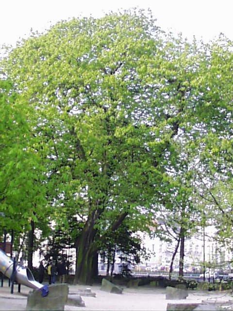 Marronnier commun – Saint-Josse-Ten-Noode, Square Henri Frick, Square Henri Frick –  12 Avril 2002