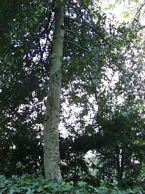 houx – Saint-Josse-Ten-Noode, Square Henri Frick, Square Henri Frick –  12 Avril 2002