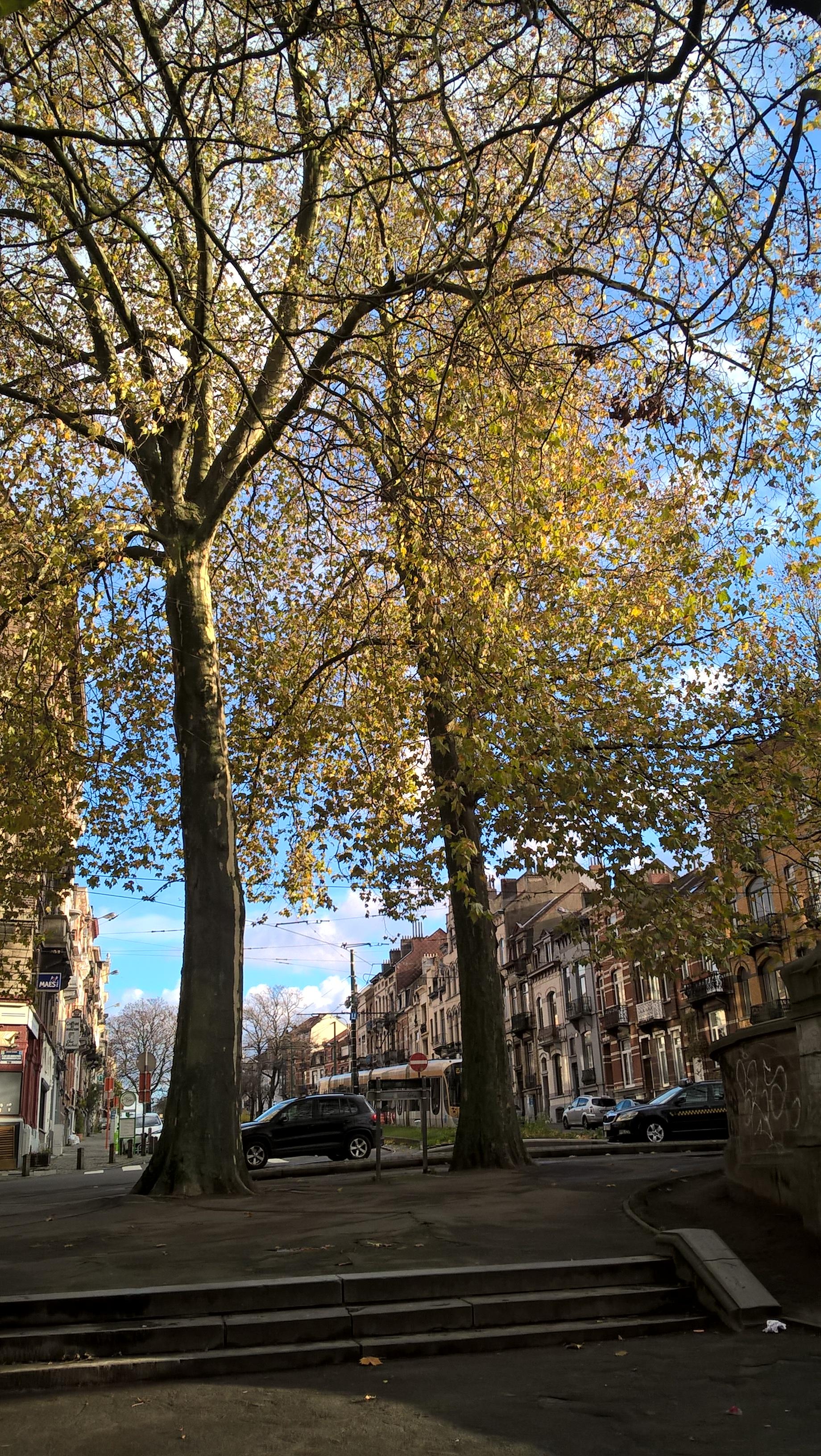 Platane à feuille d'érable – Schaerbeek, Place des Bienfaiteurs, Place des Bienfaiteurs –  28 Novembre 2017