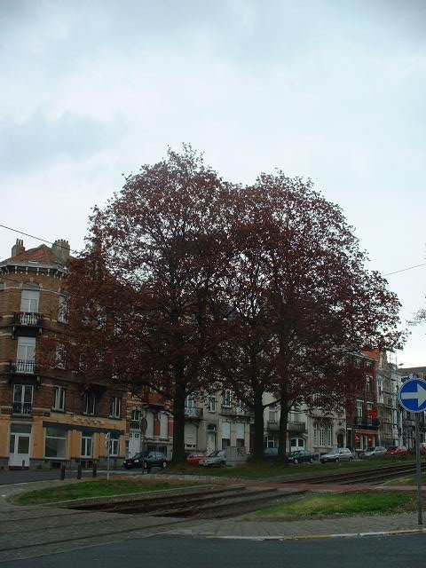 Erable plane – Schaerbeek, Avenue Rogier, 230 –  18 Avril 2002