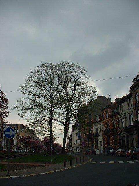 Tilleul argenté – Schaerbeek, Avenue Rogier, 273 –  18 Avril 2002