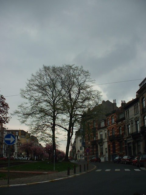 Tilleul argenté – Schaerbeek, Avenue Rogier, 277 –  18 Avril 2002