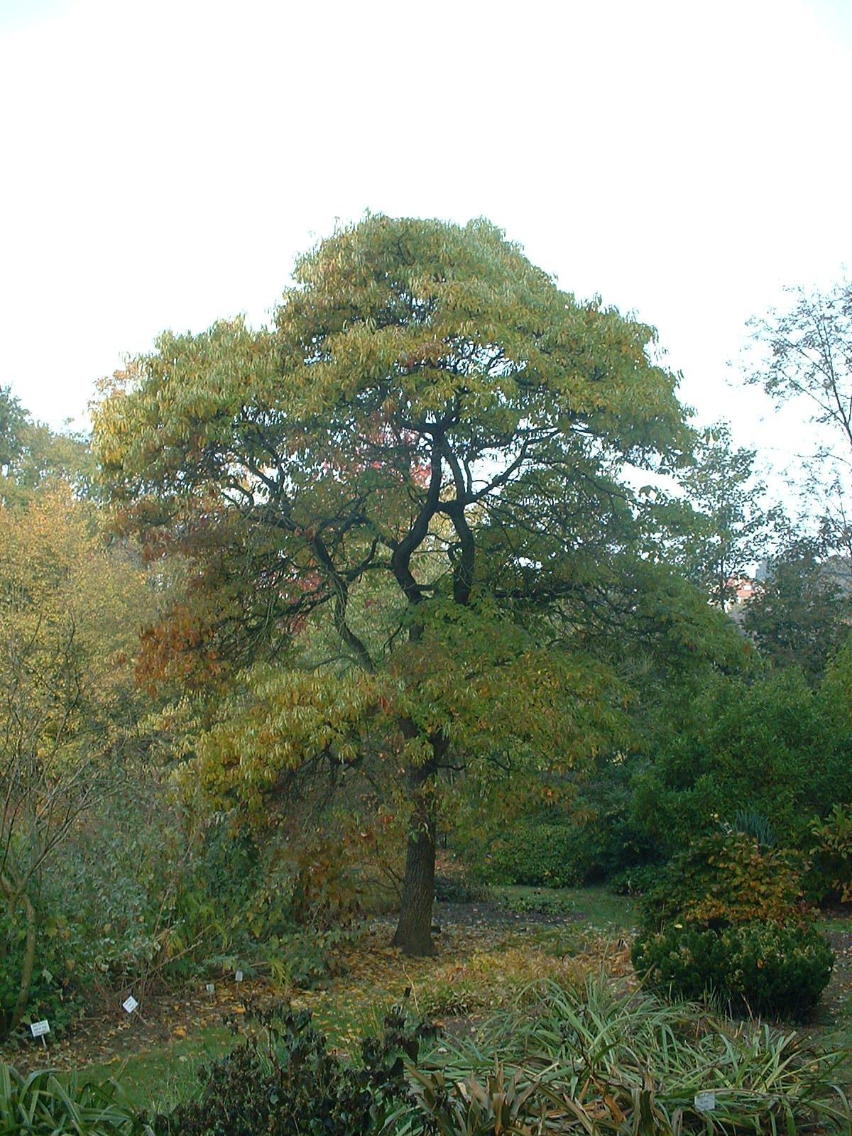 Sassafras d'Amérique – Auderghem, Jardin  Massart, parc –  22 Octobre 2003