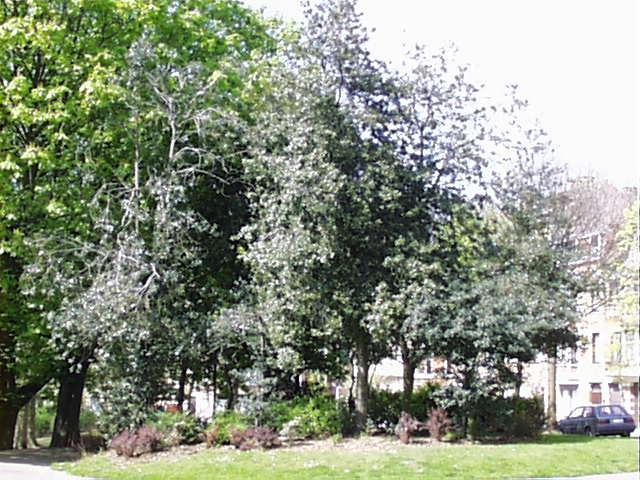 houx – Schaerbeek, Avenue Huart Hamoir et Square Riga, Avenue Huart Hamoir –  22 Avril 2002