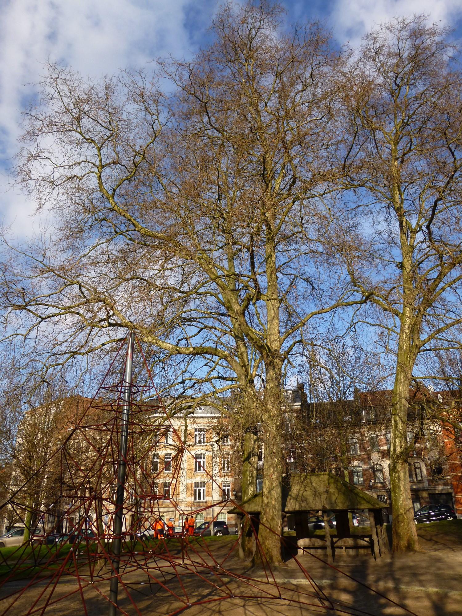Platane à feuille d'érable – Schaerbeek, Avenue Huart Hamoir et Square Riga, Avenue Huart Hamoir –  10 Janvier 2012