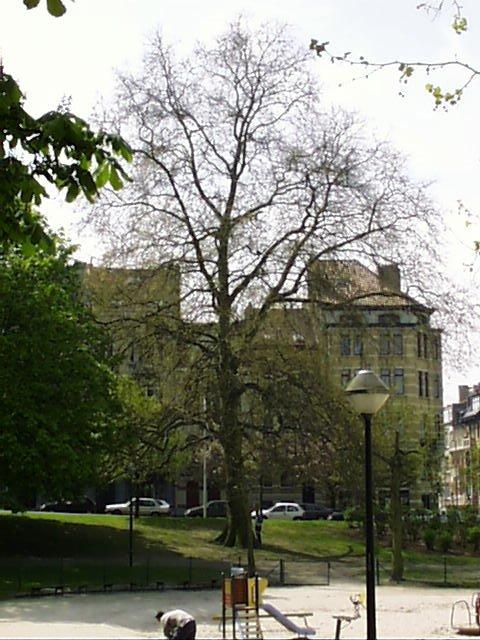 Platane à feuille d'érable, Avenue Huart Hamoir et Square Riga