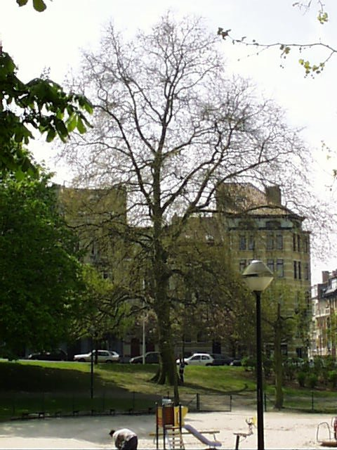 Platane à feuille d'érable – Schaerbeek, Avenue Huart Hamoir et Square Riga, Avenue Huart Hamoir –  22 Avril 2002
