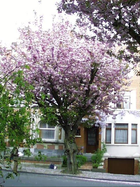 Cerisier du Japon – Woluwé-Saint-Lambert, Avenue Edouard Speeckaert, 62 –  23 Avril 2002