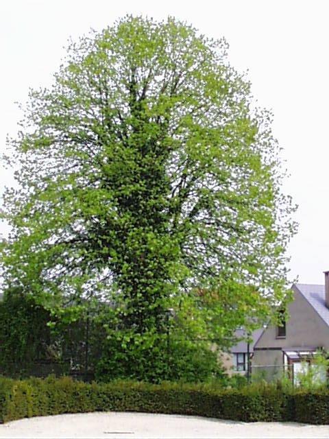 Tilleul argenté – Woluwé-Saint-Lambert, Parc Georges-Henri, Square de Meudon –  23 Avril 2002