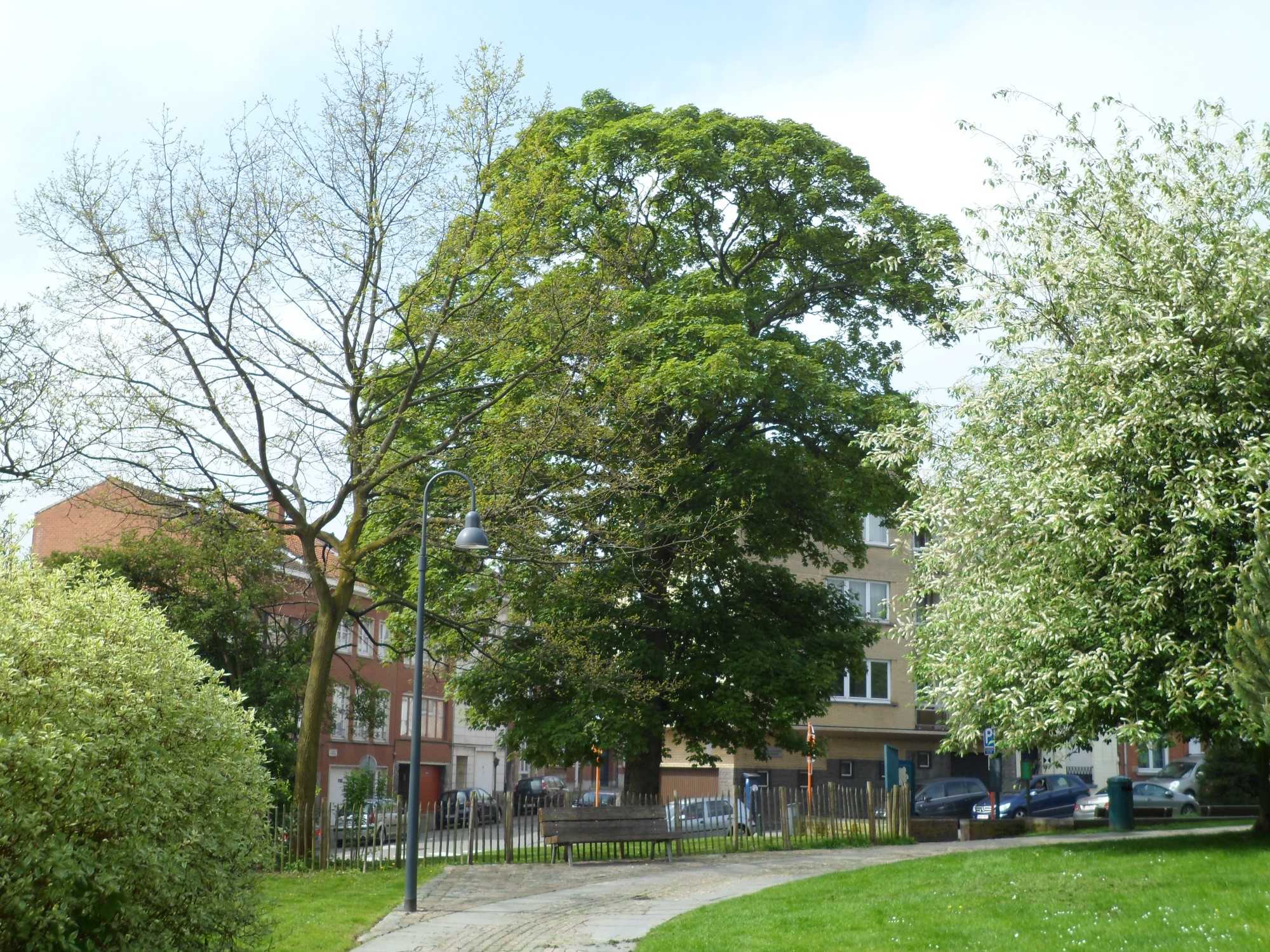 Erable sycomore – Woluwé-Saint-Lambert, Parc Georges-Henri, Rue Montagne des Cerisiers –  04 Mai 2012