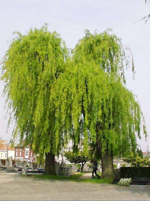 Saule pleureur – Evere, Ancien cimetière d'Evere, Rue Saint-Vincent –  24 Avril 2002