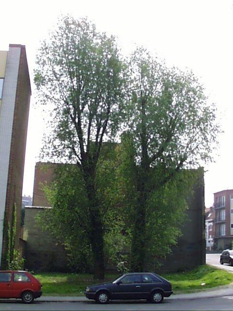 Saule blanc – Evere, Rue du Bon Pasteur –  24 Avril 2002