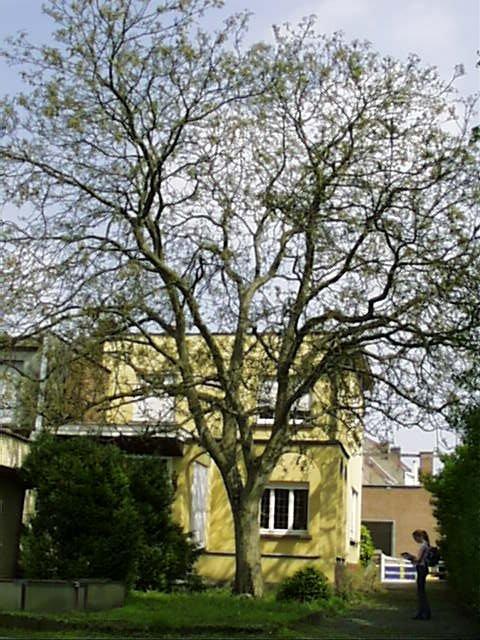 Noyer royal – Evere, Rue Willebrord Van Perck, 6 –  24 Avril 2002