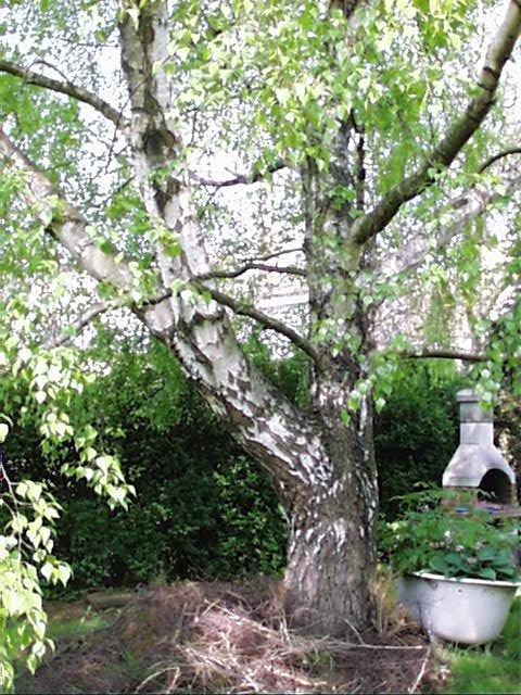 Bouleau verruqueux – Evere, Rue Willebrord Van Perck, 8 –  24 Avril 2002