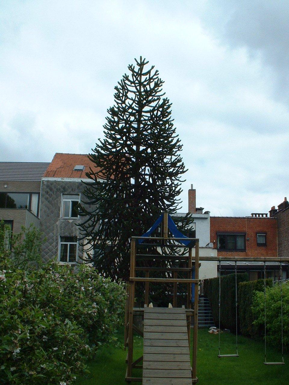Araucaria du Chili – Bruxelles, Rue du Wimpelberg, 117 –  06 Mai 2002