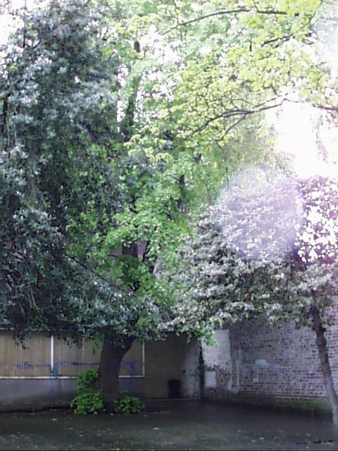 Tilleul argenté – Saint-Josse-Ten-Noode, Rue Gillon, 79 –  02 Mai 2002