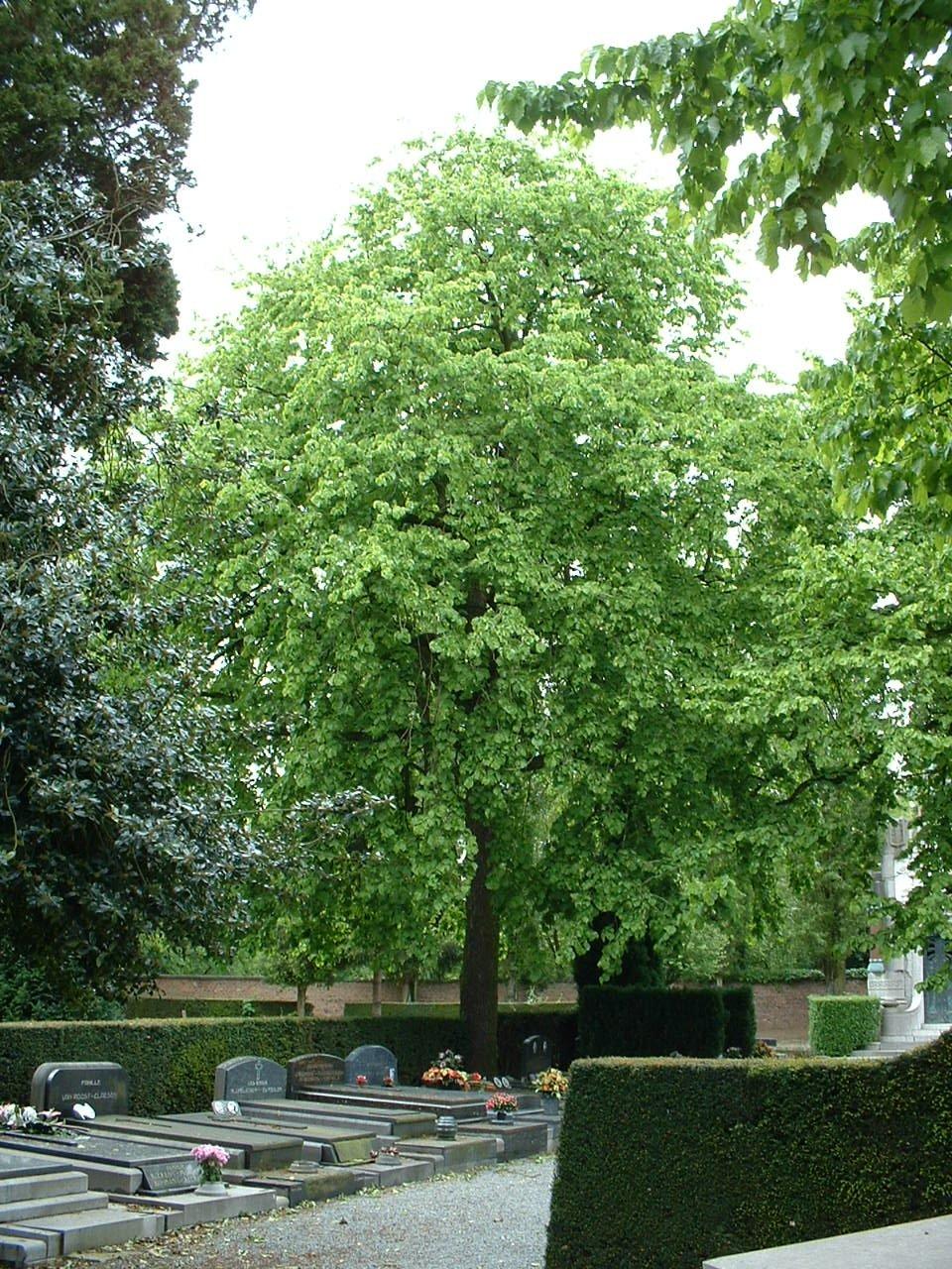 Noisetier de Byzance – Bruxelles, Cimetière de Neder-over-Heembeek, Rue François Vekemans –  06 Mai 2002