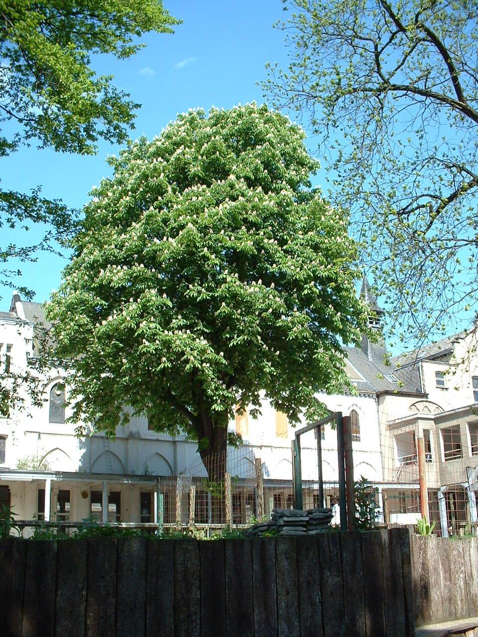 Marronnier commun – Saint-Josse-Ten-Noode, Parc de l'Institut des Dames de Marie à Saint-Josse, Chaussée de Haecht, 70 –  07 Mai 2002
