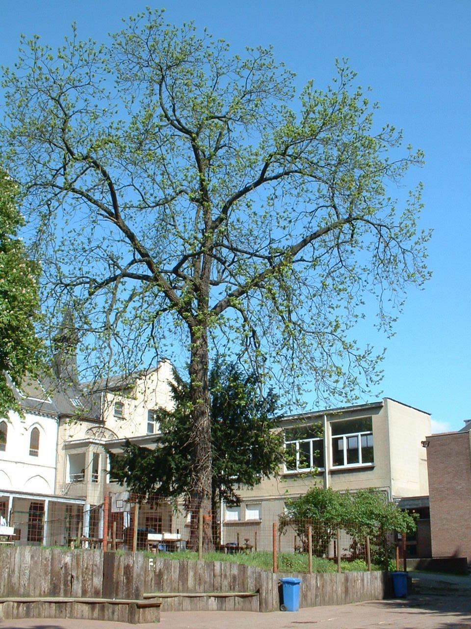 Noyer noir – Saint-Josse-Ten-Noode, Parc de l'Institut des Dames de Marie à Saint-Josse, Chaussée de Haecht, 70 –  07 Mai 2002
