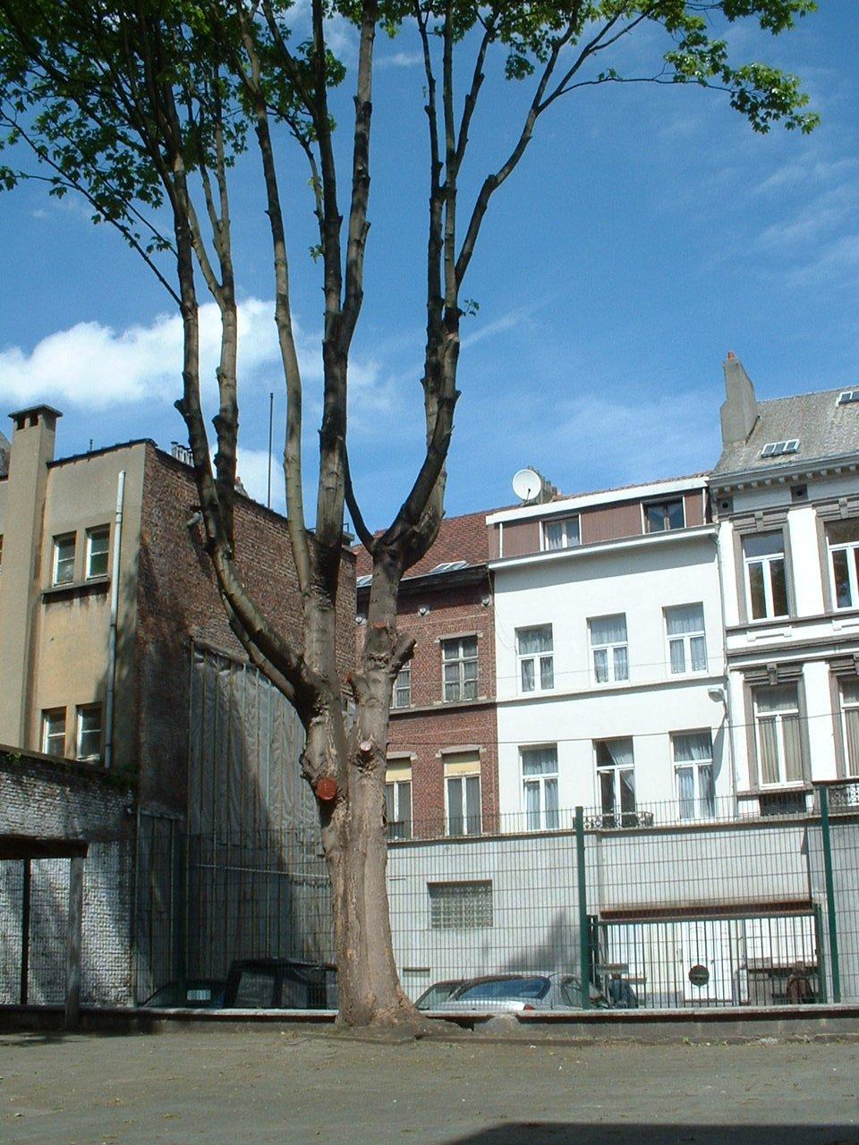 Erable sycomore – Saint-Josse-Ten-Noode, Place Quetelet, 3-4 –  13 Mai 2002