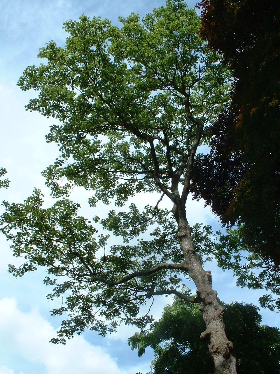 Erable sycomore – Saint-Josse-Ten-Noode, Rue de l'Union, 31 –  13 Mai 2002