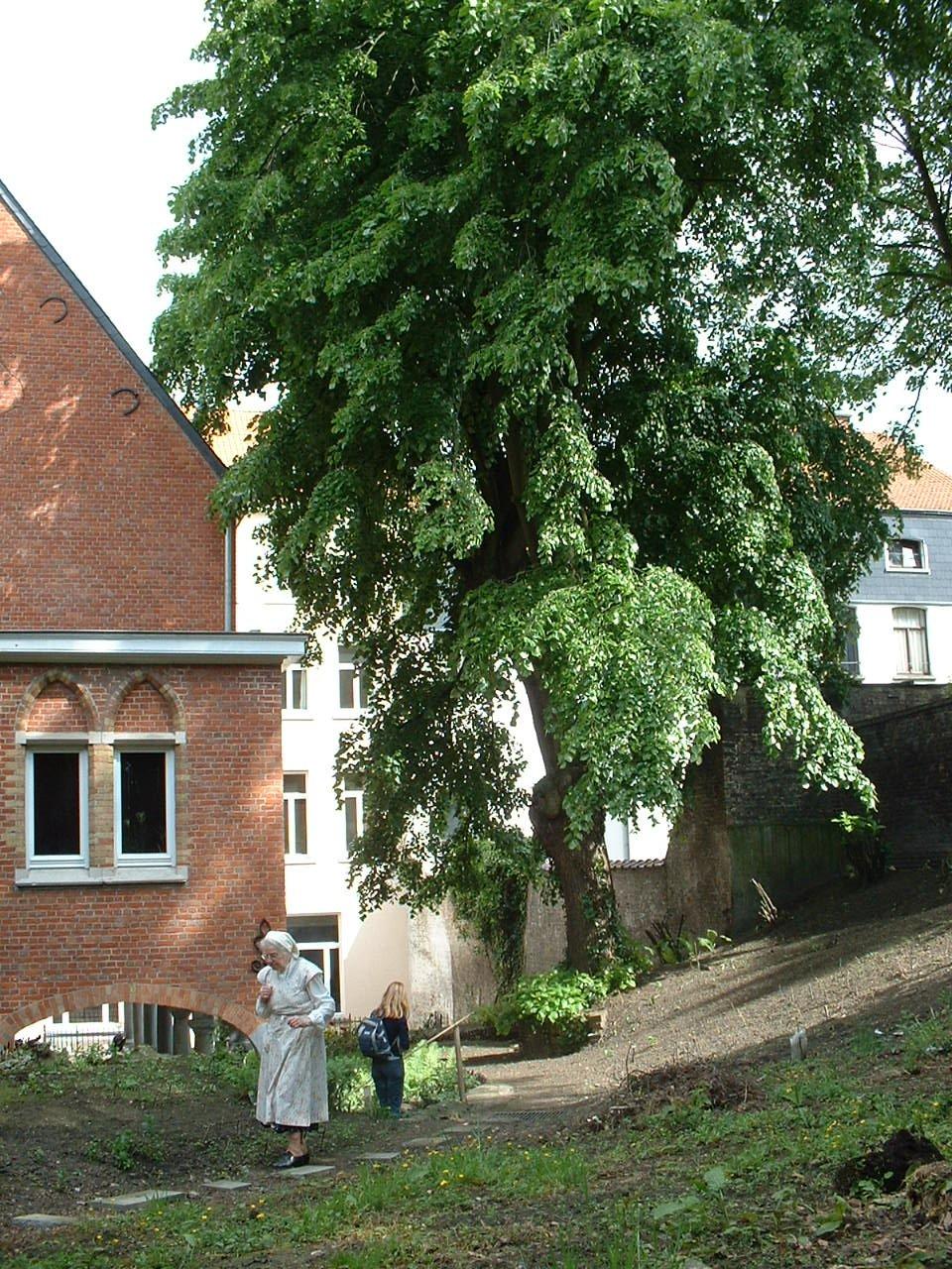 Tilleul argenté – Saint-Josse-Ten-Noode, Rue Potagère, 79 –  13 Mai 2002