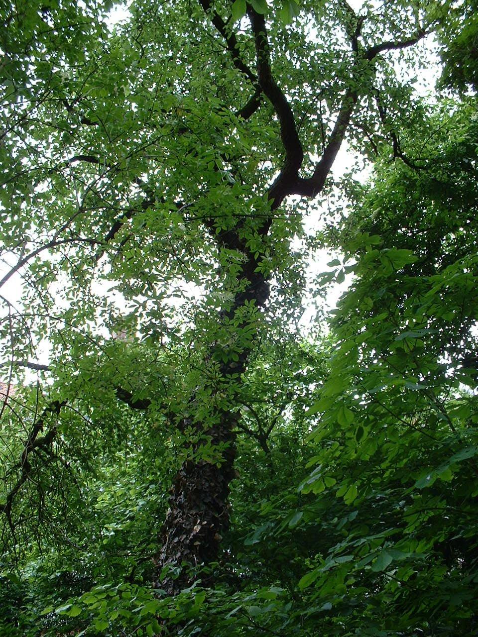 Poirier cultivé – Saint-Josse-Ten-Noode, Rue de la Limite, 116 –  14 Mai 2002