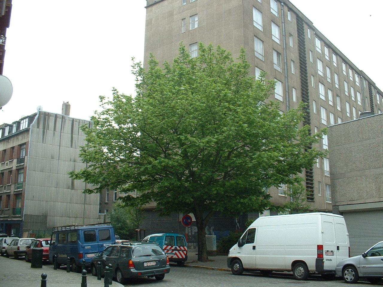 Ptérocaryer à feuilles de frêne – Bruxelles, Rue de Soignies –  08 Mai 2002