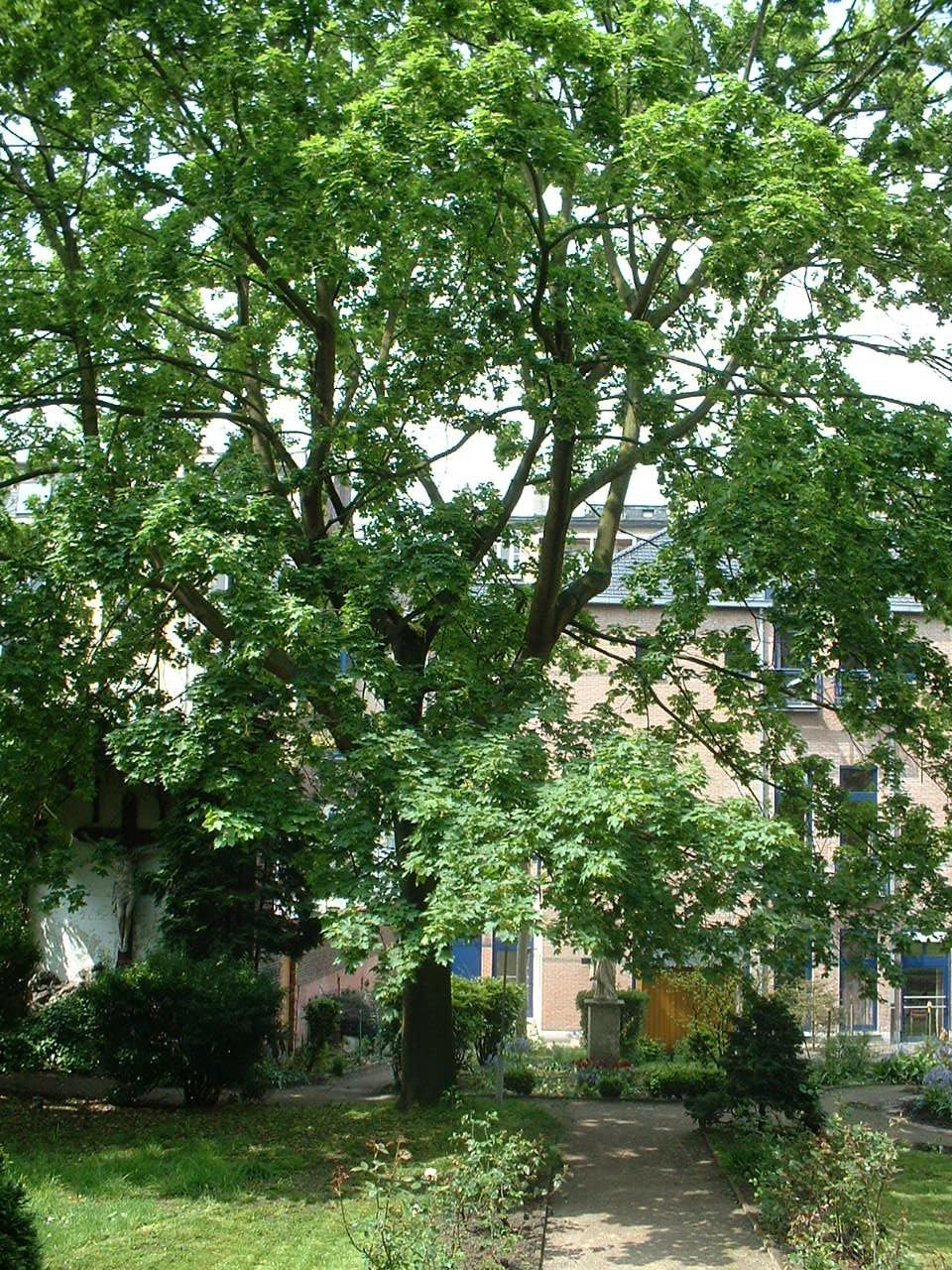 Noorse esdoorn – Brussel, Blaesstraat, 91 –  08 Mei 2002
