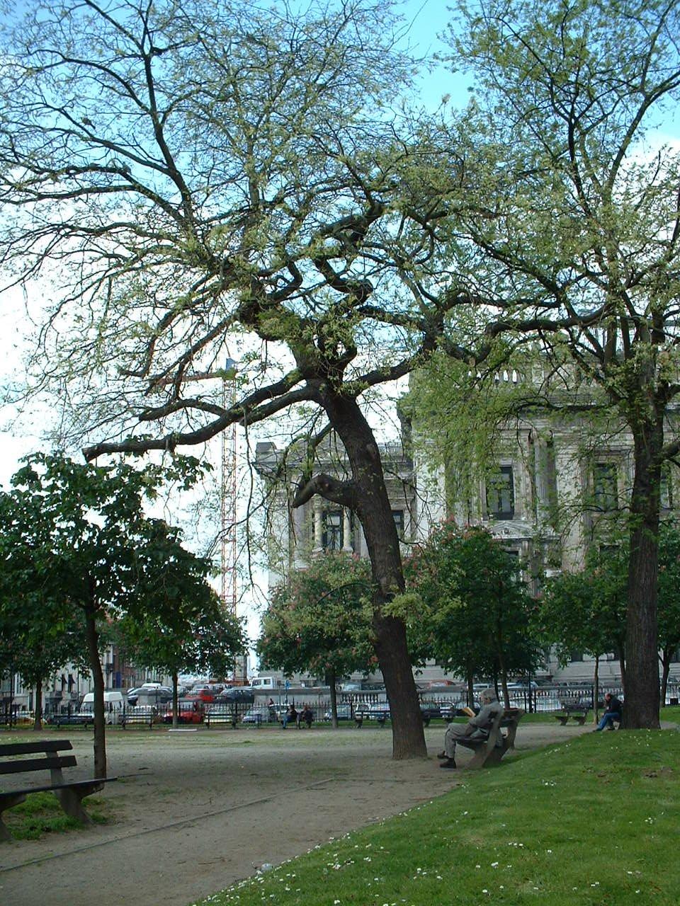 Japanse honingboom – Brussel, Jean Jacobsplein, Jan Jacobsplein –  15 Mei 2002