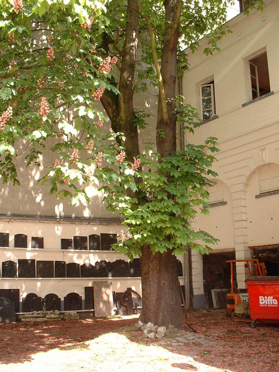 Marronnier à fleurs rouges – Bruxelles, Place du Grand Sablon, 5 –  15 Mai 2002