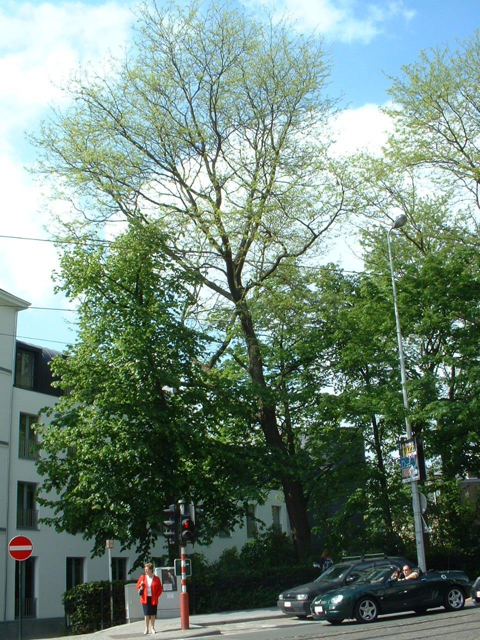 Févier d'Amérique – Bruxelles, Site rue de la Régence, Rue de la Régence –  15 Mai 2002