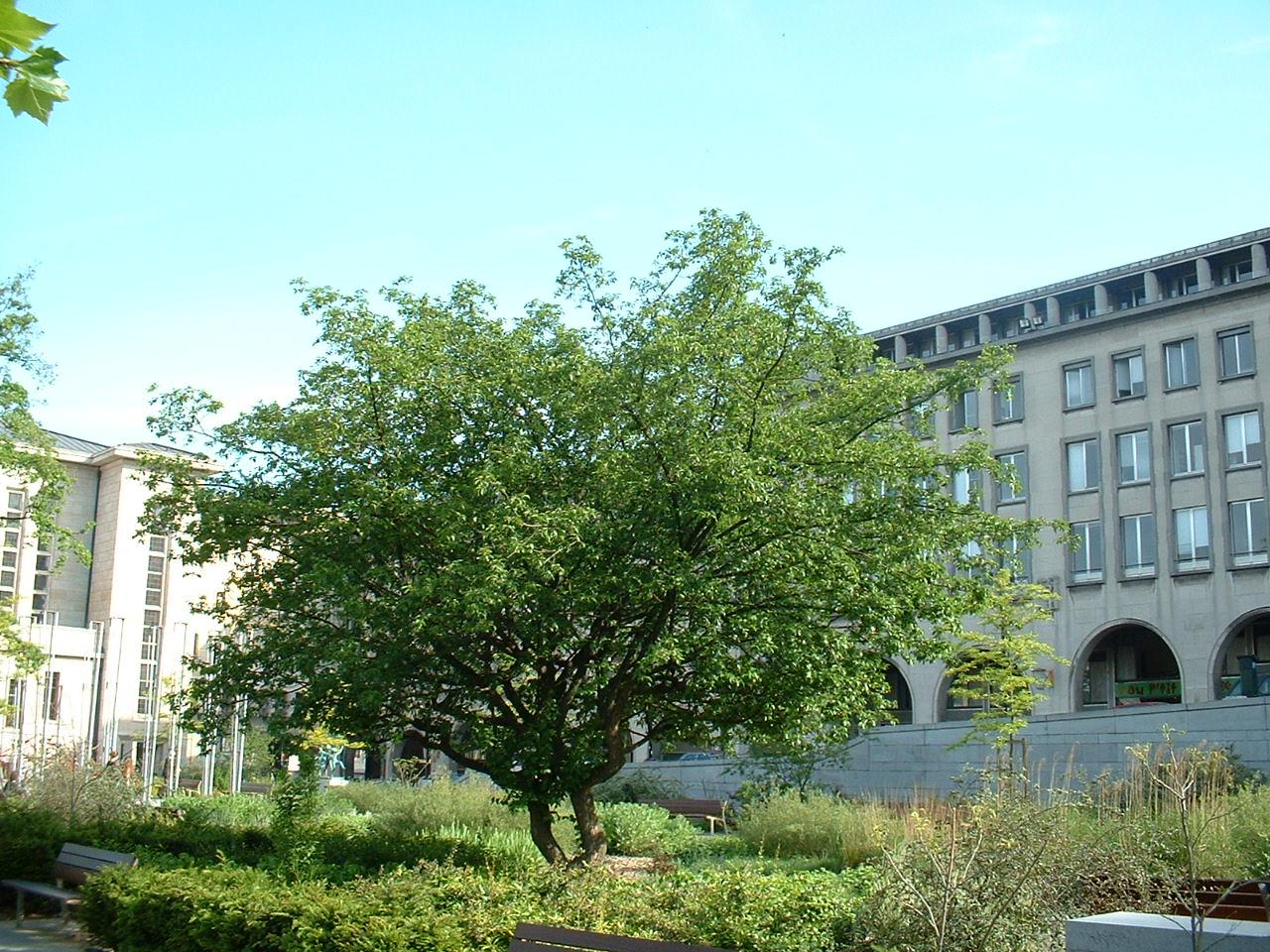 Cornouiller mâle – Bruxelles, Jardin du Mont des Arts, Mont des Arts –  15 Mai 2002
