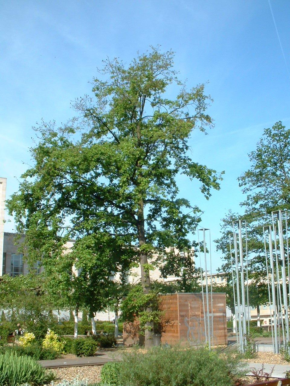 Chêne pédonculé – Bruxelles, Jardin du Mont des Arts, Mont des Arts –  15 Mai 2002