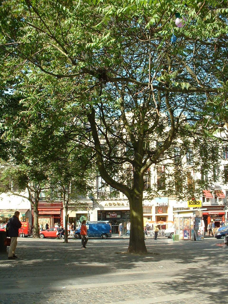 Ailante glanduleux – Bruxelles, Rue du Marché aux Herbes, 111 –  16 Mai 2002