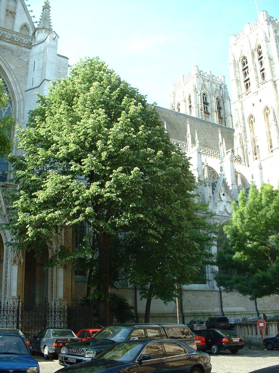 Tilleul argenté – Bruxelles, Parvis Sainte-Gudule, Rue du Bois Sauvage, 10 –  16 Mai 2002