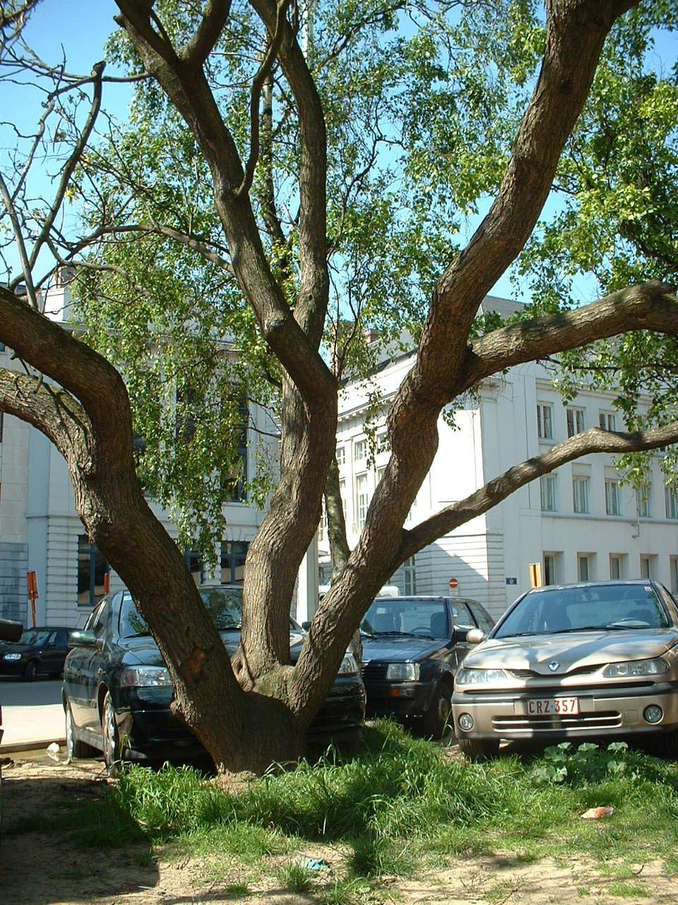 Catalpa à feuilles d'or – Bruxelles, Rue aux Choux, 35 –  16 Mai 2002