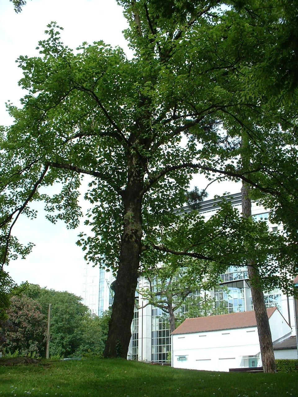 Erable sycomore – Bruxelles, Abords de l'Institut royal des Sciences naturelles de Belgique, Rue Vautier, 31 –  21 Mai 2002