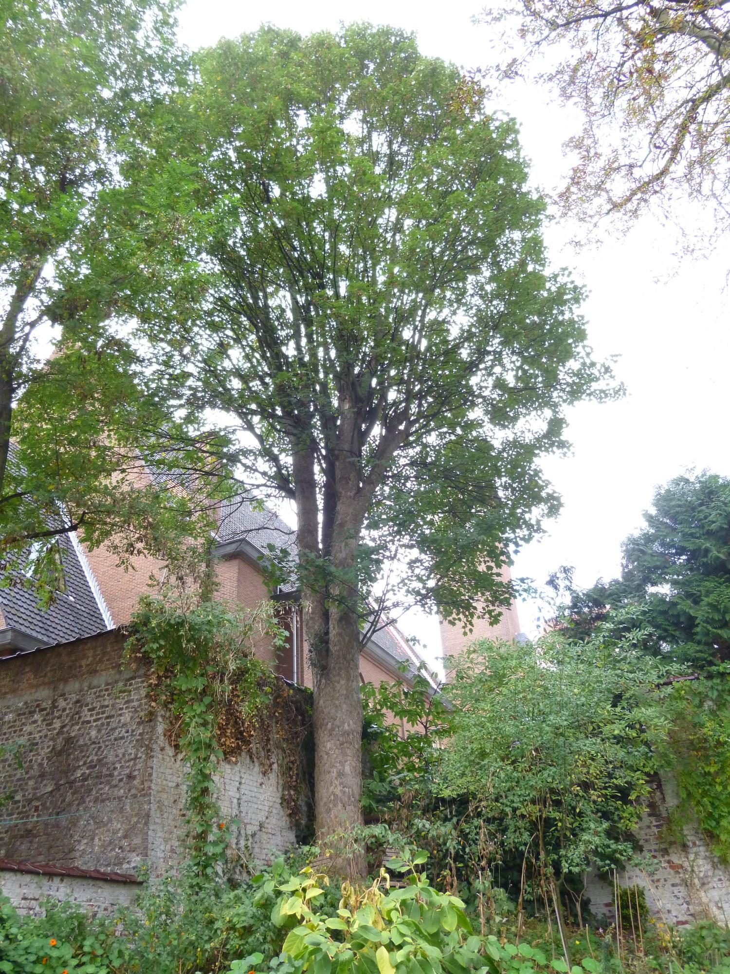 Erable sycomore – Bruxelles, Avenue Michel-Ange, 28 –  20 Octobre 2014