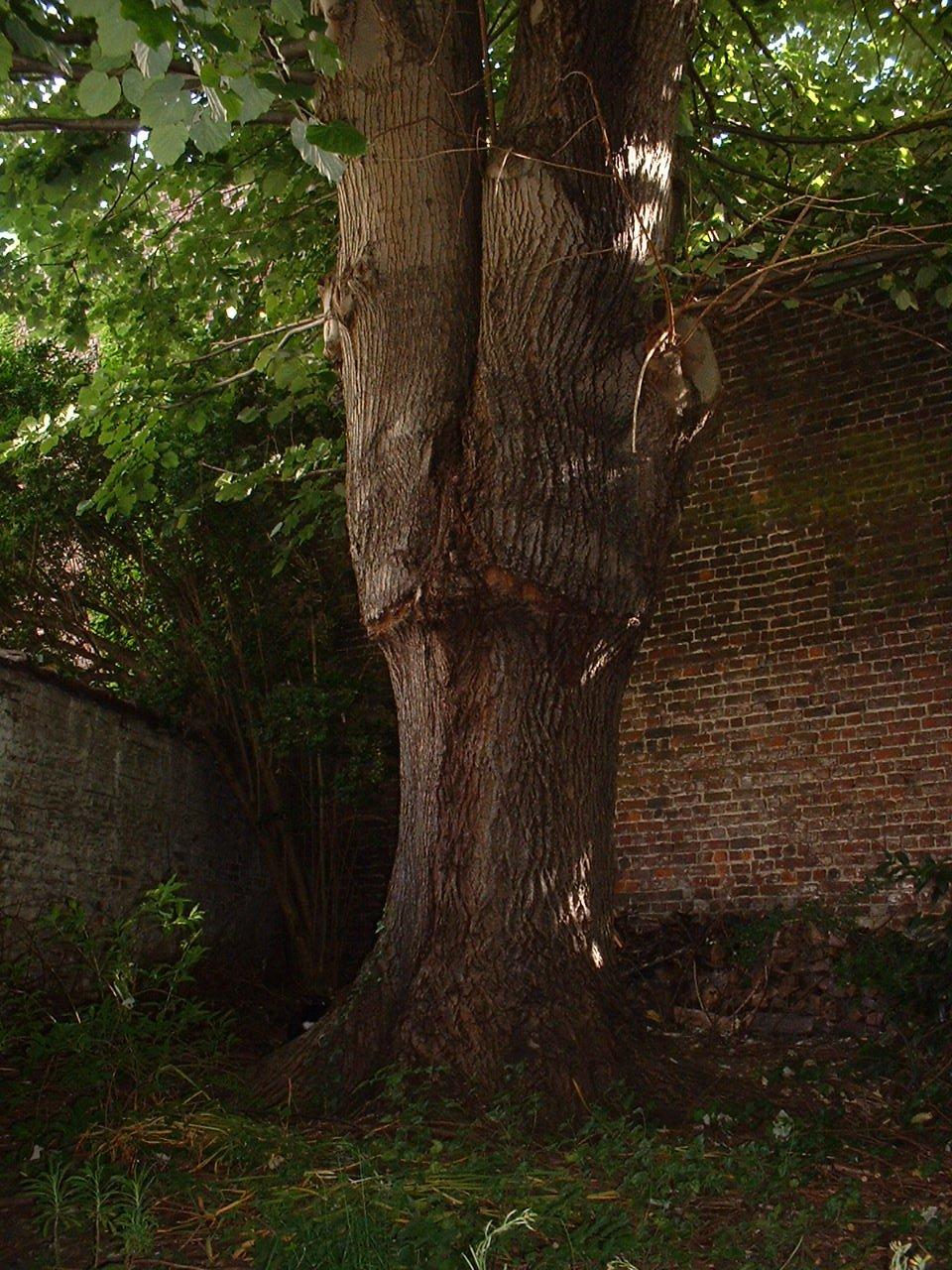 Tilleul argenté pleureur – Bruxelles, Rue de l'Abdication, 12 –  27 Mai 2002